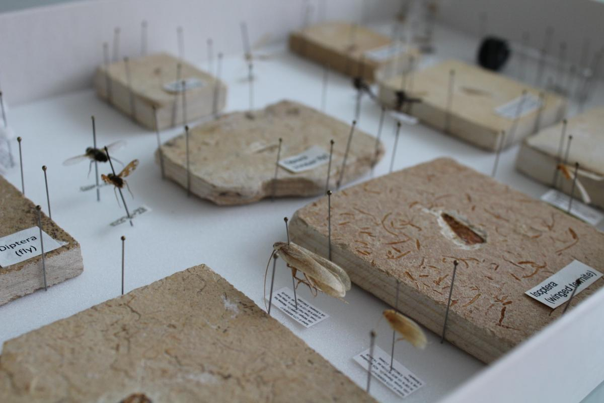 Image of fossilized insect next to a pinned sample of their most current relative