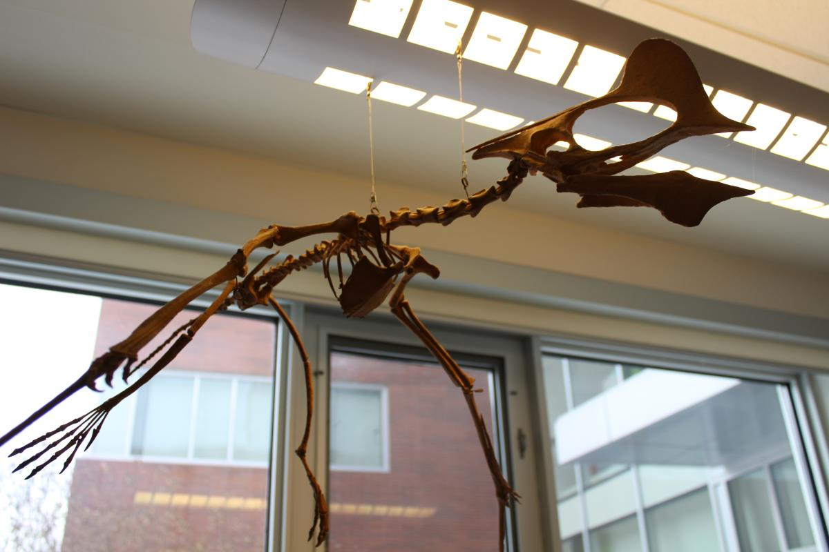 Image of dinosaur skeleton hanging from the ceiling