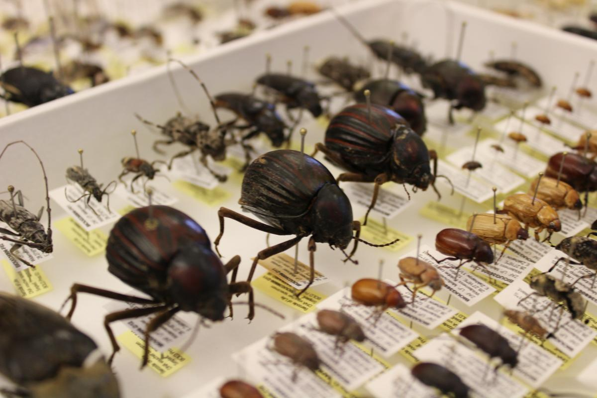 Image of pinned dung beetles