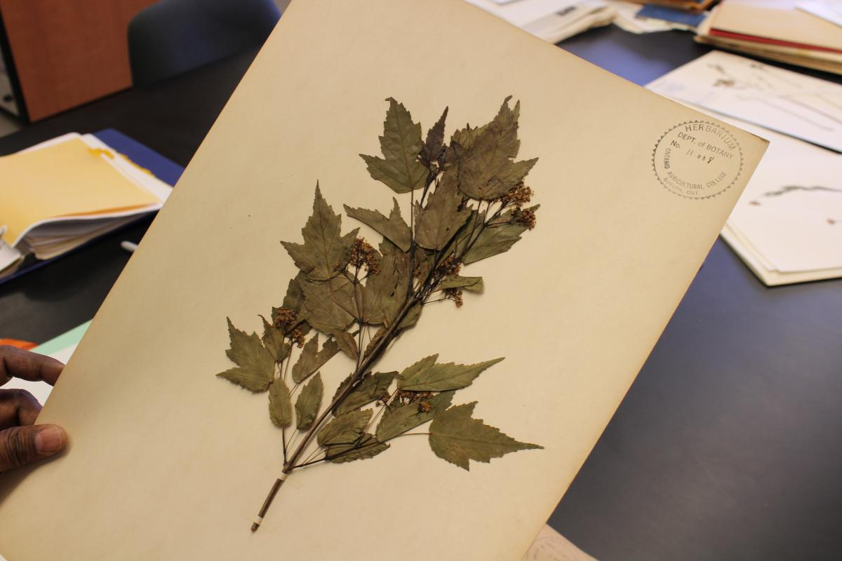 Image of pressed plant specimen