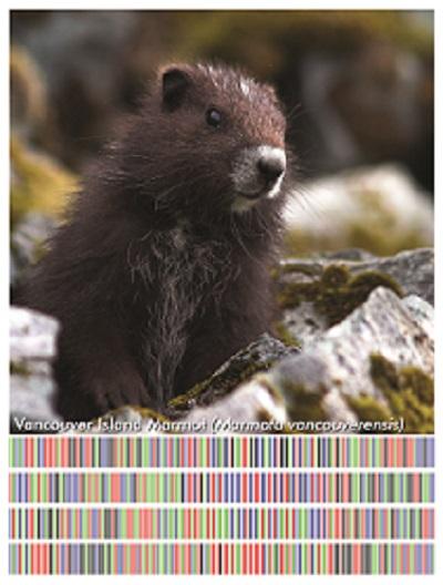 Marmota vancouverensis image